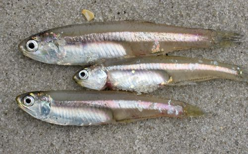 White Bait/Anchovies (Big Nethili) - Click Image to Close