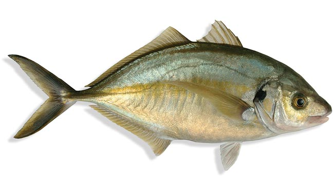 Trevally Big (Paarai Meen)